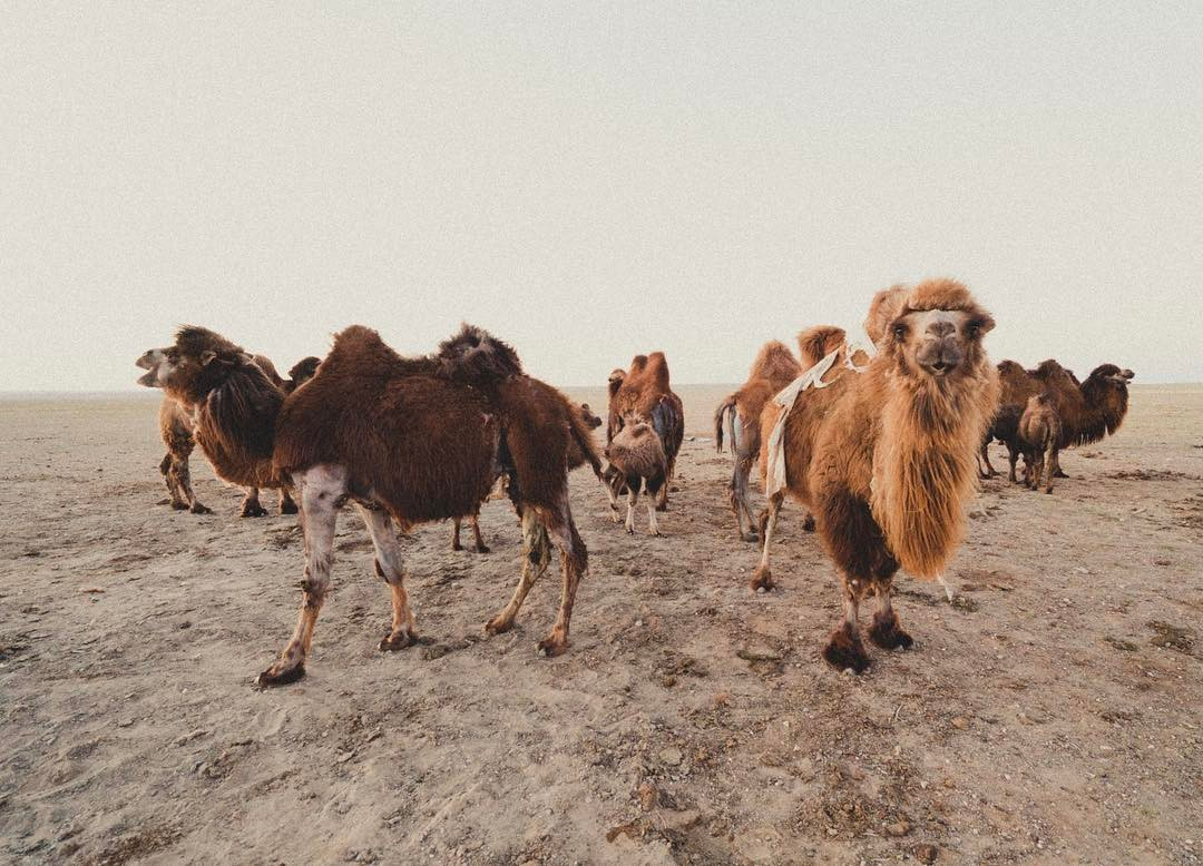 A thousand camels for the most beautiful girl in thehellip