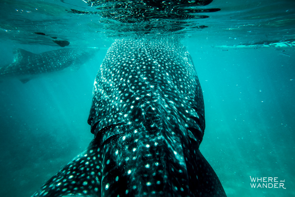 Back-Of-Whale-Shark-Up-Close-Underwater-Photography