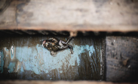Dead Frog On Amazon River Manu Rainforest