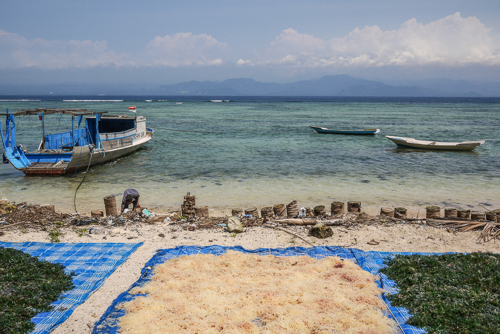 Seaweed Farmers Drying Seaweeds On Nusa Lembongan