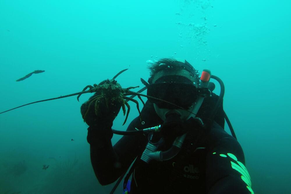 Lobster Diving In Kiakoura New Zealand