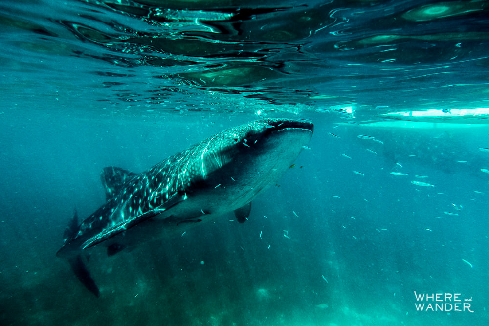 Swimming-With-Whale-Sharks-Wild