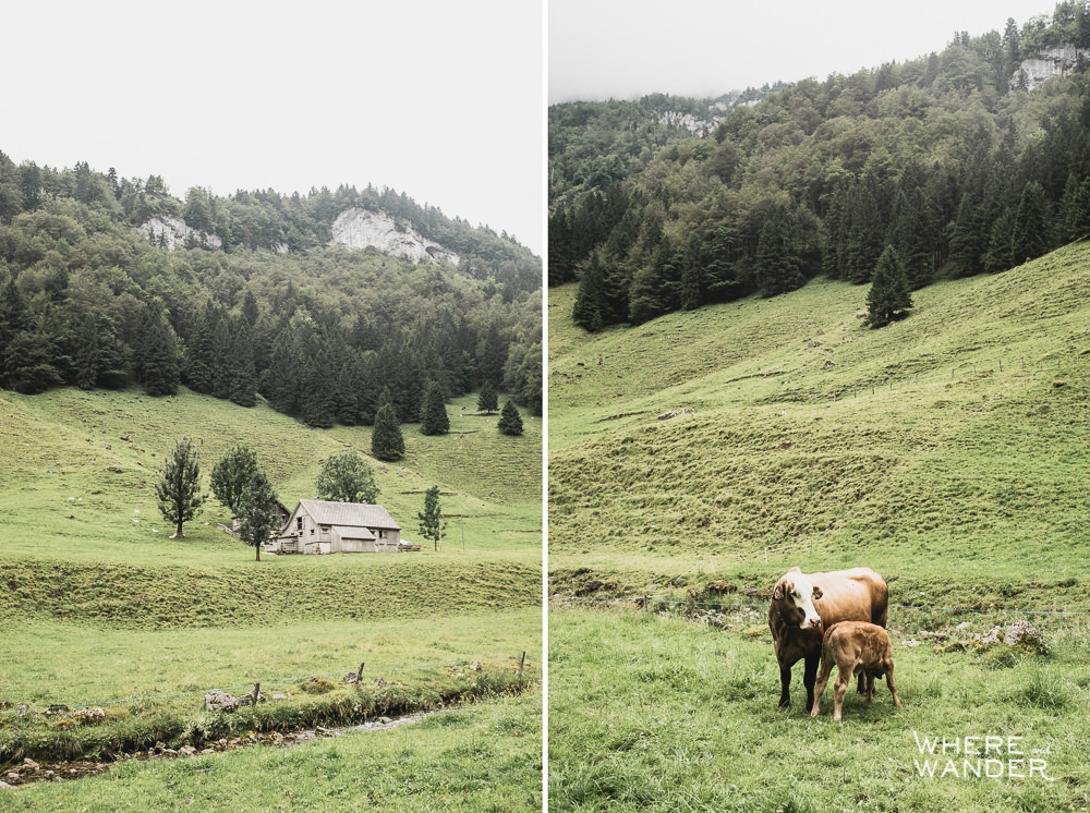 Cows and Rolling Hill In Switzerland