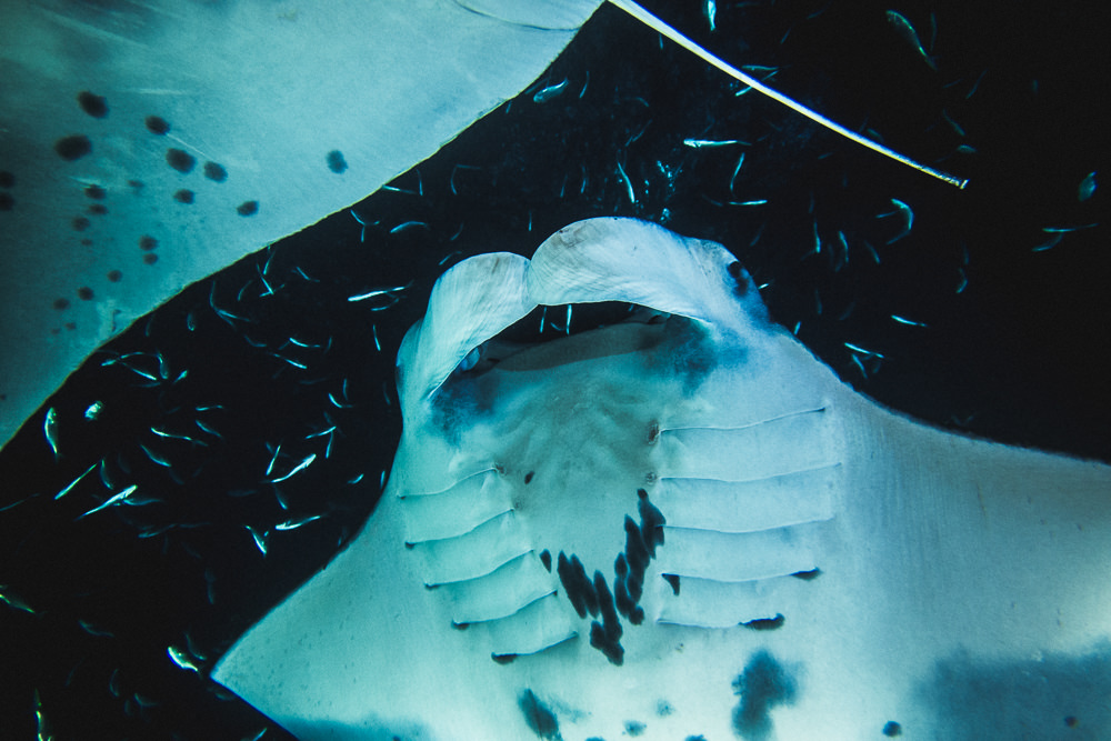Manta Ray Close Up At NIght