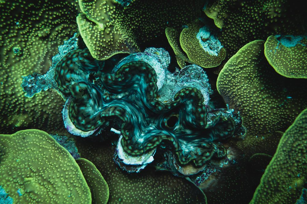 giant sea clam great barrier reef